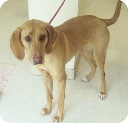 Bloodhound/Weimaraner Mix Dog for adoption in Atchison, Kansas - Rose