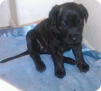 Labrador Retriever/German Shepherd Dog Mix Puppy for adoption in Scottsdale, Arizona - Hope
