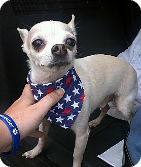 Chihuahua Dog for adoption in St. Petersburg, Florida - Taco