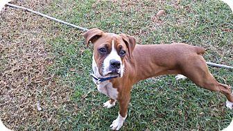 Boxer Puppy for adoption in Corona, California - Milo