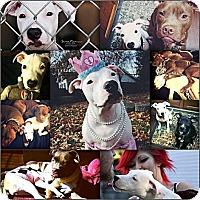 Adopt A Pet :: Lita - Indianapolis, IN