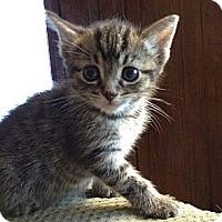 Adopt A Pet :: Tiger - Xenia, OH