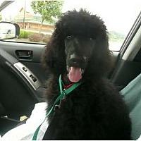Adopt A Pet :: Tiny Dancer - Madison, WI