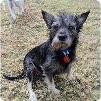 Adopt A Pet :: Napoli - Arlington, TX