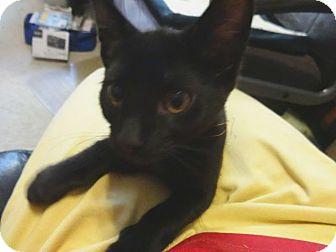 Domestic Shorthair Kitten for adoption in Colmar, Pennsylvania - Bear