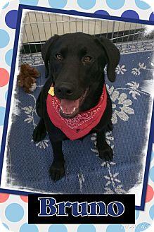 Labrador Retriever/Great Dane Mix Puppy for adoption in Apache Junction, Arizona - Bruno