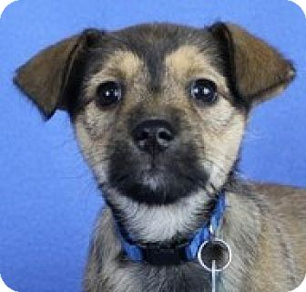 Wirehaired Fox Terrier/Chihuahua Mix Puppy for adoption in Minneapolis, Minnesota - Dharma