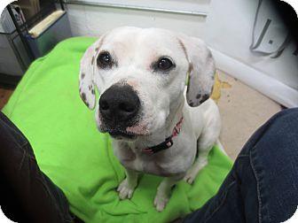 Beagle/Dalmatian Mix Dog for adoption in Lake Odessa, Michigan - Freckles