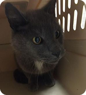 Domestic Shorthair Cat for adoption in Parma, Ohio - Grey Stone