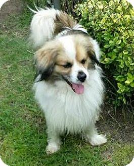 Sheltie, Shetland Sheepdog/Australian Shepherd Mix Dog for adoption in Ortonville, Michigan - Max