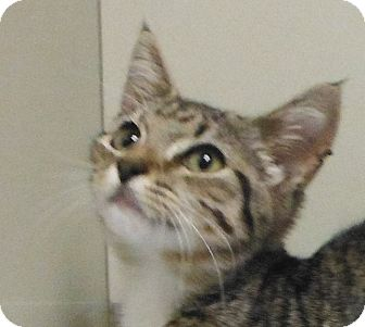 Domestic Shorthair Kitten for adoption in Cedartown, Georgia - 29396923