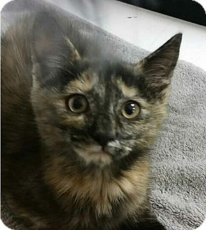Domestic Mediumhair Kitten for adoption in Albion, New York - Wonka