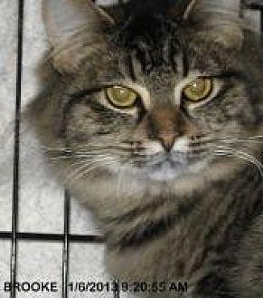 Domestic Mediumhair Cat for adoption in Brainardsville, New York - Brooke