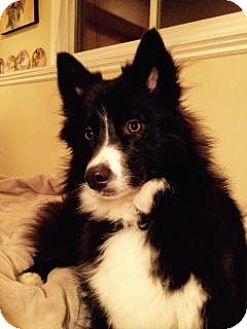 Husky/Border Collie Mix Dog for adoption in Saskatoon, Saskatchewan - Jemma