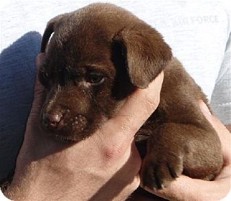 Labrador Retriever Mix Puppy for adoption in San Antonio, Texas - Honey the Mini Lab