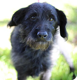 Scottie, Scottish Terrier/Terrier (Unknown Type, Small) Mix Dog for adoption in Plymouth Meeting, Pennsylvania - KARA
