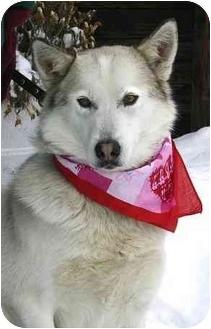 Samoyed/Husky Mix Dog for adoption in Ladysmith, Wisconsin - Lacey