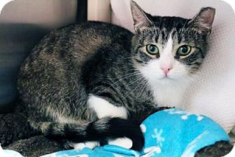 Domestic Shorthair Cat for adoption in Bellevue, Washington - Elvis
