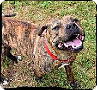 Staffordshire Bull Terrier/American Staffordshire Terrier Mix Dog for adoption in Austin, Texas - Cricket