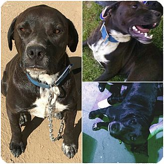 American Staffordshire Terrier/Boxer Mix Dog for adoption in Sacramento, California - URGENT needs home now