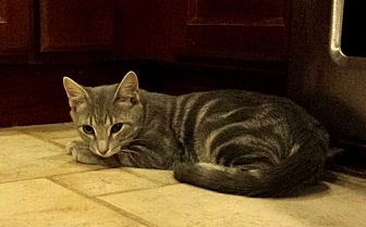 Domestic Shorthair Kitten for adoption in Berkeley Hts, New Jersey - Simba
