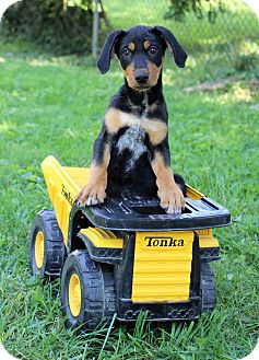 Doberman Pinscher/Coonhound Mix Puppy for adoption in Florence, Kentucky - Diesel