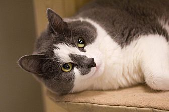 Domestic Shorthair Cat for adoption in Grayslake, Illinois - Aeneas