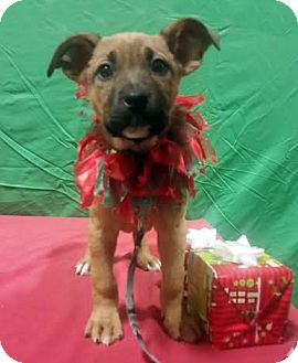 German Shepherd Dog/Retriever (Unknown Type) Mix Puppy for adoption in Detroit, Michigan - Snowflake-Adopted!
