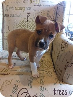 Boxer/Labrador Retriever Mix Puppy for adoption in Memphis, Tennessee - Lulu