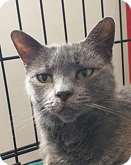 Russian Blue Cat for adoption in Lafayette, New Jersey - Ariana