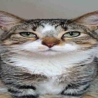 Domestic Mediumhair Cat for adoption in Fort Walton Beach, Florida - MR. RODGERS