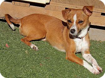 Chihuahua/Basenji Mix Dog for adoption in Niagara Falls, New York - Honey (8 lb) Awesome Lil' Girl