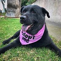 Adopt A Pet :: Nova - San Diego, CA