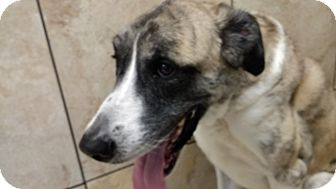 Great Dane/Greyhound Mix Dog for adoption in Hainesville, Illinois - Tanner