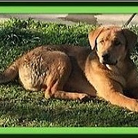 Anatolian Shepherd/Australian Shepherd Mix Puppy for adoption in Murrieta, California - Buster