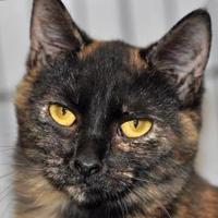 Domestic Shorthair/Domestic Shorthair Mix Cat for adoption in Tilton, Illinois - Olivia
