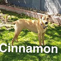 Adopt A Pet :: CINNAMON 2 YR LAB FEMALE - Mesa, AZ