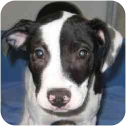 American Pit Bull Terrier Mix Puppy for adoption in Berkeley, California - Sheba