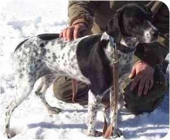 German Shorthaired Pointer/Pointer Mix Dog for adoption in Somerset, Pennsylvania - Chilli