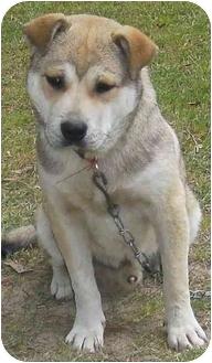Siberian Husky/German Shepherd Dog Mix Puppy for adoption in Haughton, Louisiana - Tonka