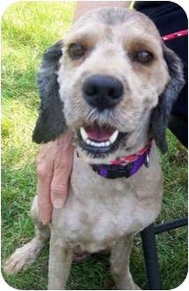 Poodle (Standard)/Labrador Retriever Mix Dog for adoption in Marseilles, Illinois - Trey