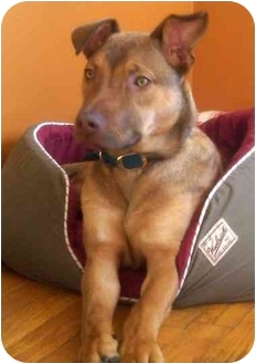 German Shepherd Dog/Boxer Mix Puppy for adoption in Troy, Michigan - Aliana