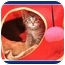 Photo 3 - Domestic Shorthair Kitten for adoption in Sterling Heights, Michigan - Frito - ADOPTED!