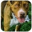 Photo 1 - American Pit Bull Terrier/Bloodhound Mix Dog for adoption in Freeport, New York - Charlie