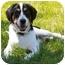 Photo 1 - Hound (Unknown Type)/Labrador Retriever Mix Dog for adoption in Latrobe, Pennsylvania - Kirby