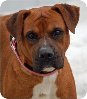 Boxer/Rhodesian Ridgeback Mix Dog for adoption in Mora, Minnesota - Laredo