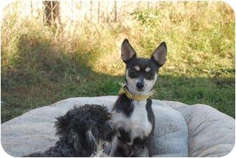 Chihuahua Mix Dog for adoption in Astoria, New York - Caroline