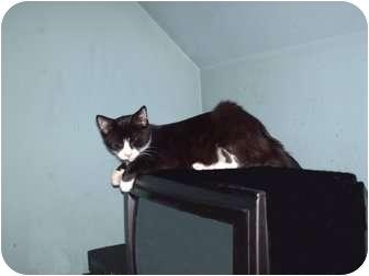 Domestic Shorthair Kitten for adoption in Hampton, Connecticut - Lefty