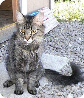 Domestic Mediumhair Cat for adoption in Sullivan, Missouri - Bella