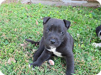 Labrador Retriever/Siberian Husky Mix Puppy for adoption in Foster, Rhode Island - Jaxon